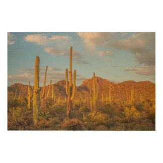 Saguaro cactus at sunset, Arizona Wood Canvas