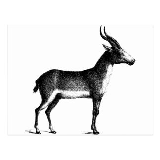 Saiga Antelope Postcard