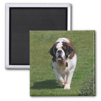 Saint Bernard dog beautiful photo magnet