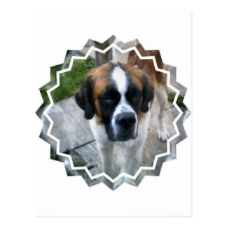 Saint Bernard Photo Postcard