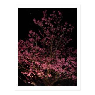 Sakura Blossoms at night Postcard