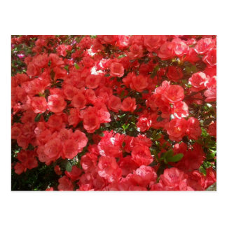 Salmon Colored Azeleas Postcard