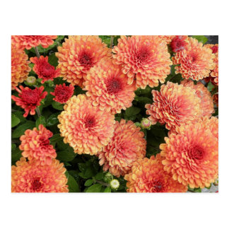 Salmon Colored Mums Postcard
