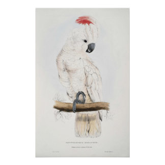 Salmon-crested Cockatoo Poster