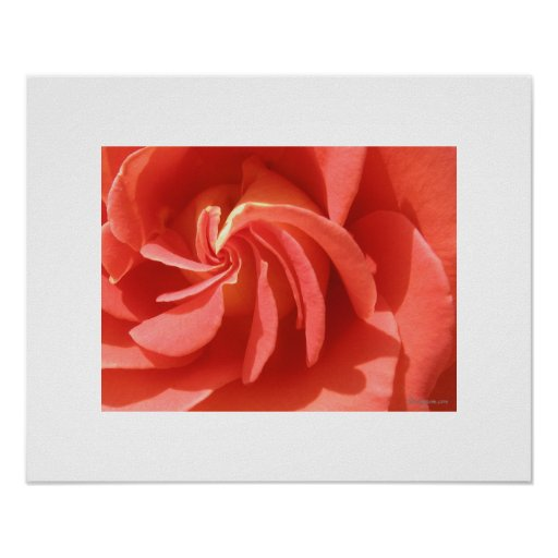 Salmon Enchanted Evening Rose Swirl Poster Print Print