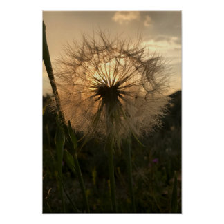 Salsify Sunset Poster