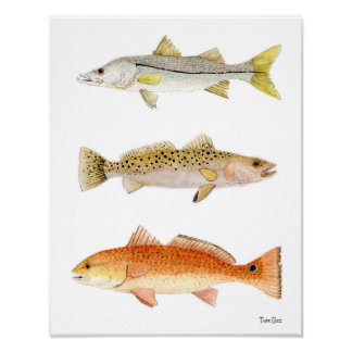 Saltwater Game Fish- Snook, Seatrout & Redfish Poster