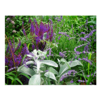 Salvia, Lavendar, Lambs ear Postcard