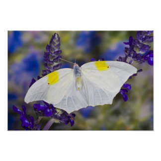 Sammamish, Washington. Tropical Butterflies 13 Poster