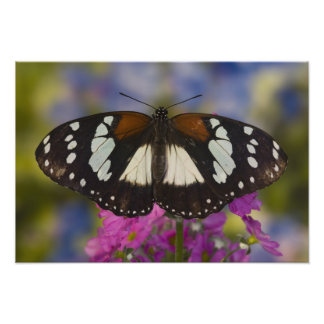 Sammamish, Washington. Tropical Butterflies 17 Photo Print