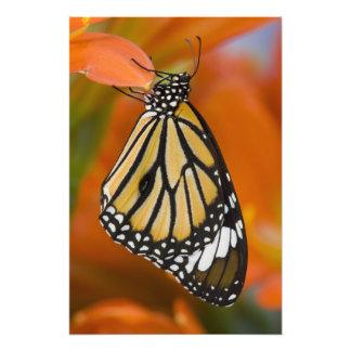 Sammamish, Washington. Tropical Butterflies 2 Art Photo