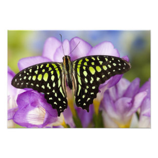 Sammamish, Washington. Tropical Butterflies 32 Photo