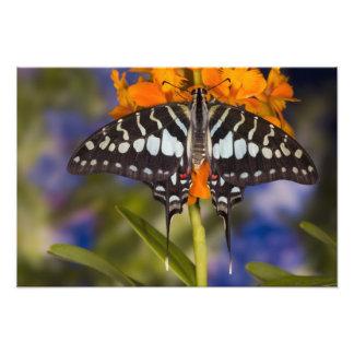 Sammamish, Washington. Tropical Butterflies 53 Photo