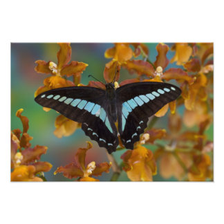 Sammamish, Washington. Tropical Butterflies 56 Photo Print