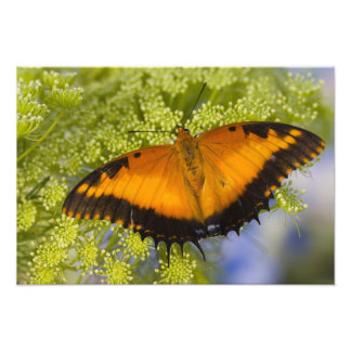Sammamish, Washington. Tropical Butterflies 58 Photographic Print