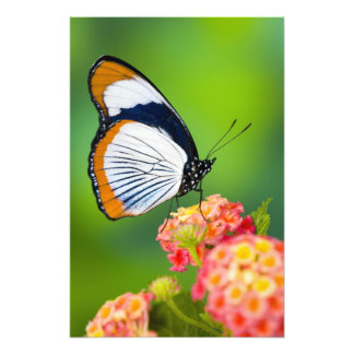 Sammamish, Washington. Tropical Butterflies Photo Print