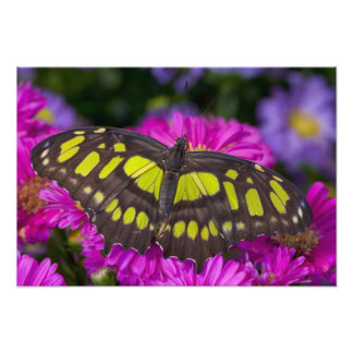 Sammamish, Washington Tropical Butterfly 41 Photo Print