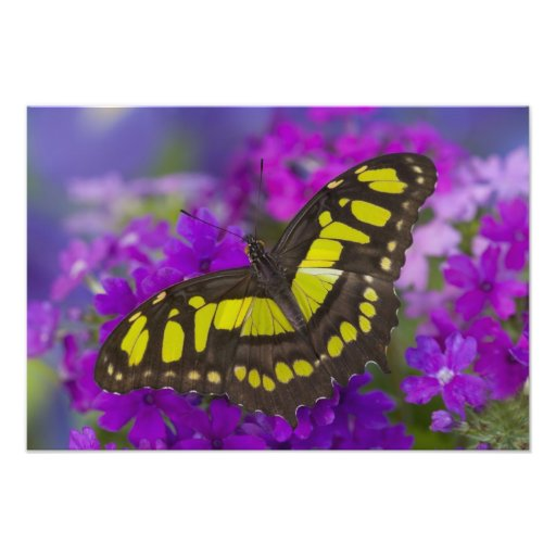 Sammamish, Washington Tropical Butterfly 42 Photographic Print