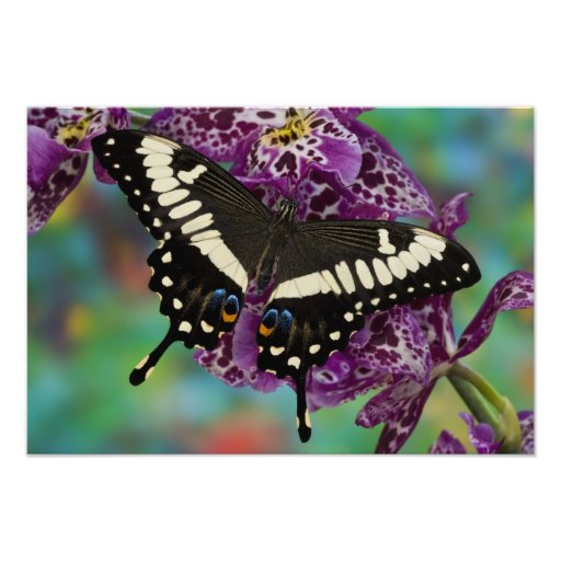 Sammamish, Washington Tropical Butterfly 6 Photographic Print