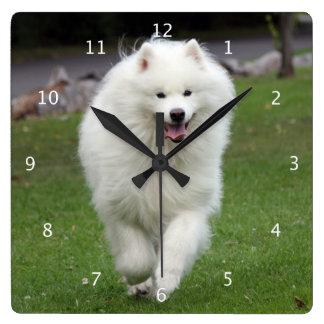 Samoyed dog beautiful photo portrait running wallclock