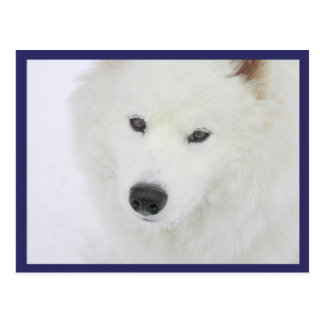 Samoyed - PVSC - Snow Postcard