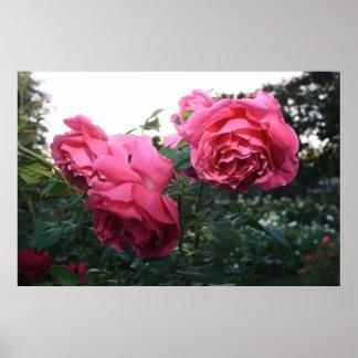 San Jose Rose Garden Flowers Poster