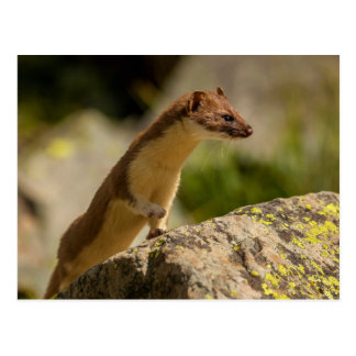 San Juan Mountains. Short-Tailed Weasel Postcard