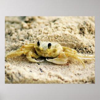 Sand Crab, Curacao, Caribbean islands, 24x18 Photo Poster