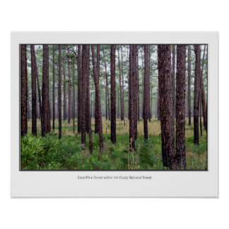 Sand Pine forest Poster