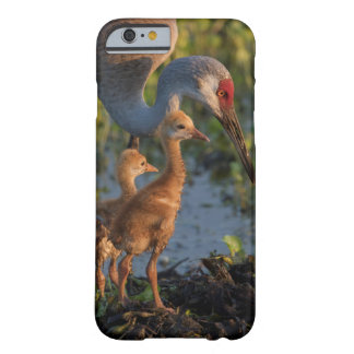 Sandhill crane with chicks, Florida Barely There iPhone 6 Case