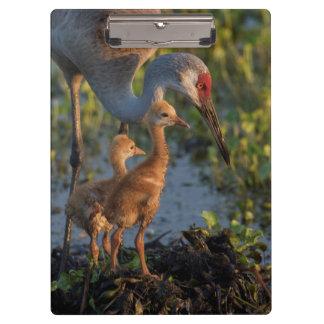 Sandhill crane with chicks, Florida Clipboard