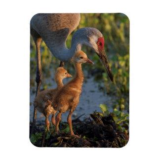 Sandhill crane with chicks, Florida Magnet