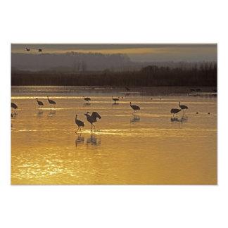 Sandhill Cranes Grus canadensis) Bosque Del Photo Print