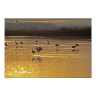Sandhill Cranes Grus canadensis) Bosque Del Photograph