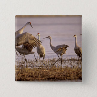 Sandhill Cranes Grus canadensis) Platte 15 Cm Square Badge