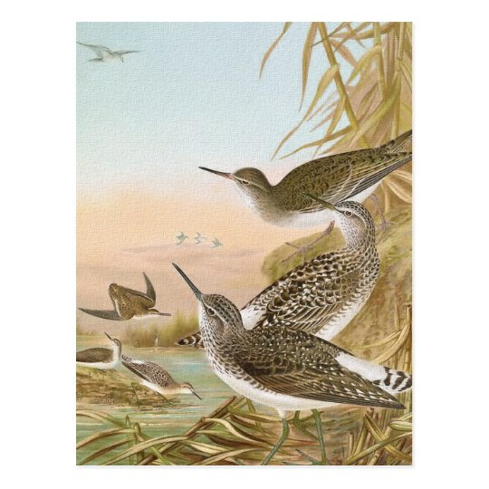 """Sandpipers"" Vintage Bird Illustration Postcard"