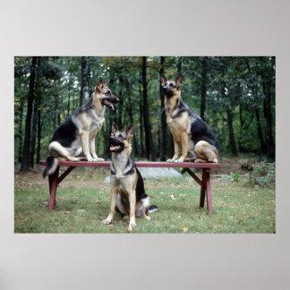 Sassydog German Shepard Poster