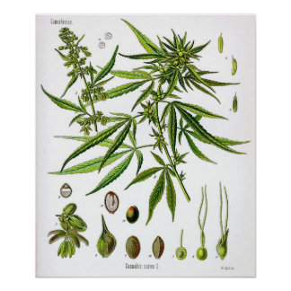 Sativa  Plant Vintage Botany Drawing Poster