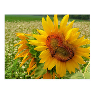 Save the date wedding postcards Sunflowers