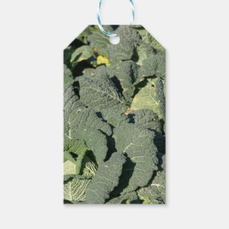 Savoy cabbage plants in a field. gift tags