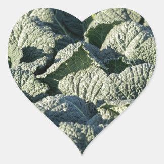 Savoy cabbage plants in a field. heart sticker