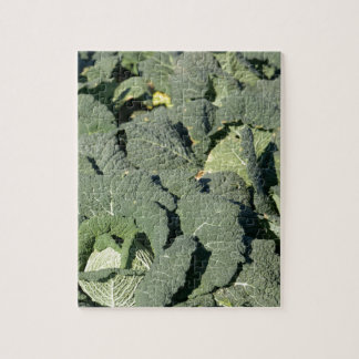 Savoy cabbage plants in a field. jigsaw puzzle