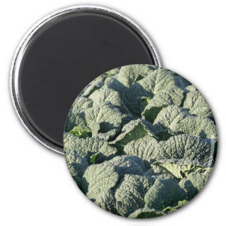 Savoy cabbage plants in a field. magnet