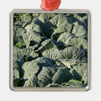 Savoy cabbage plants in a field. metal ornament