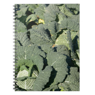 Savoy cabbage plants in a field. notebook