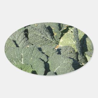 Savoy cabbage plants in a field. oval sticker