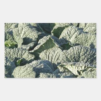 Savoy cabbage plants in a field. rectangular sticker
