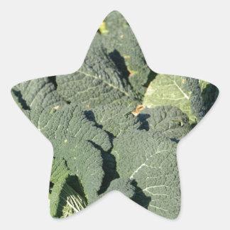 Savoy cabbage plants in a field. star sticker