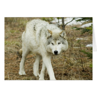 Sawtooth Pack: Wolves of the Nez Perce Note Card