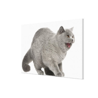 Scared British Shorthair hissing (8 months old) Stretched Canvas Print